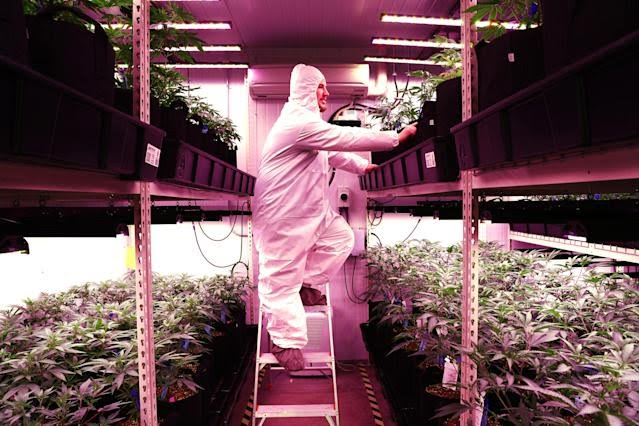"""UXBRIDGE, MA - JANUARY 2: Joe Gibson, co-owner and head grower of Gibby's Garden, checks on marijuana plants in the """"veg room"""" of his cannabis business in Uxbridge, MA on Jan. 2, 2020. Co-owned by Joe and his parents, Fred and Kim Gibson, family-owned Gibby's Garden is the first cannabis microbusiness licensed to open in Massachusetts. Microbusinesses like Gibbys say they can provide consumers with small-batch cannabis flower and products that are superior to pot from bigger operators  akin to the difference between craft beer and Budweiser. They cant open their own stores, though, so Gibbys plans to sell its first marijuana flower wholesale Monday to Carolines Cannabis and run without corporate backing. (Photo by Pat Greenhouse/The Boston Globe via Getty Images)"""